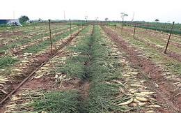 Tình trạng đổ bỏ nông sản, Bộ NN&PTNT yêu cầu báo cáo trước 19/3