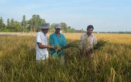 Mất mùa lúa lai, nhiều nông dân thua đau đúng lúc giá lúa đang cao