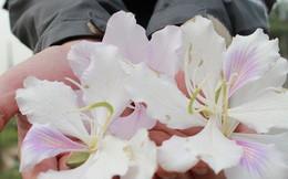 Ảnh: Chiêm ngưỡng hoa ban Tây Bắc nhuộm trắng con đường ven đô Hà Nội