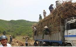 Khẩn trương thu mua mía tồn đọng tại ruộng cho nông dân Ninh Thuận