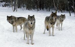 """Chuyện cuối tuần: Câu chuyện chó sói xung trận - hãy """"lạnh lùng"""" như bầy sói khi chọn cách đối đầu với thử thách"""