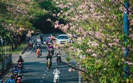 Sài Gòn trong mùa hoa kèn hồng nở rộ, khắp phố phường như đang vào xuân