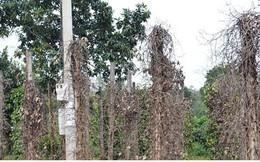 Nông dân Bình Phước thiệt hại tiền tỷ vì tiêu chết hàng loạt