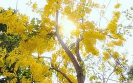 """Chùm ảnh: Hoa Osaka rực rỡ """"nhuộm vàng"""" đường phố Sài Gòn trong cái nắng tháng 4"""