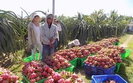 Giá thanh long Bình Thuận vẫn giữ mức cao