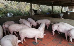 Cần kiểm soát chặt việc tăng đàn lợn