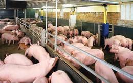Cơ hội cho người chăn nuôi, nhưng cần thận trọng