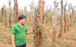 Gia Lai: 6.500 hộ dân đổ nợ vì hồ tiêu