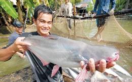 Tự phát chuyển hàng trăm hécta đất lúa nuôi cá tra: Rủi ro cao