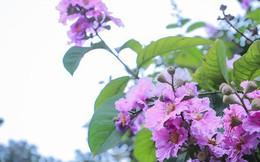 Ngắm hoa bằng lăng nhuộm tím trời Hà Nội