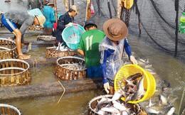 Bẫy thị trường và nguy cơ vỡ trận cá tra