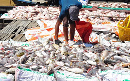 Xét nghiệm mẫu nước, tìm nguyên nhân 1.500 tấn cá chết trên sông La Ngà