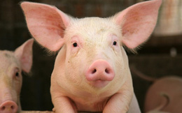 Bất chấp bão tố thị trường, cổ phiếu Dabaco (DBC) vẫn ngược dòng bứt phá nhờ sự hồi sinh của giá lợn