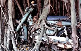 Cây cổ thụ ôm chặt cứng chiếc xe máy suốt 25 năm ở Bình Dương