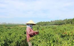 Nông dân cay đắng vì giá ớt quá rẻ