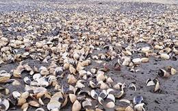 Công bố nguyên nhân gần 100 tấn ngao chết bất thường ở Thanh Hóa
