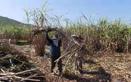 Vụ mía đắng ngắt, hầu hết nông dân đều thua lỗ!