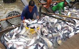Cá tra xuất khẩu Việt Nam đã phát triển thế nào trong 20 năm qua?