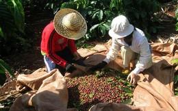 Giá cà phê trong nước lao dốc