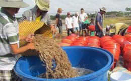 Trung Quốc tăng cường kiểm soát buôn lậu, tôm Việt Nam rớt giá thê thảm