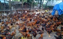 Giá gà ta tăng mạnh, người chăn nuôi có lãi