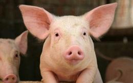 Hưởng lợi từ giá lợn, Dabaco (DBC) báo lãi 6 tháng cao gấp 28 lần cùng kỳ với 750 tỷ đồng
