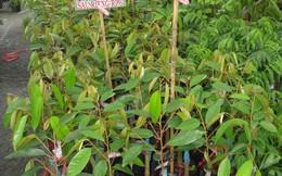 Sầu riêng siêu rẻ ăn trả hột: Lo chất lượng cây giống