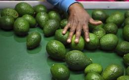 Bơ - loại quả bình thường ở Việt Nam nhưng được xem như 'vàng' ở Nam Phi, mang tới sự 'đổi đời' cho cả một quốc gia