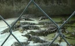 Giá cá sấu thương phẩm tăng cao, người dân tập trung tái đàn