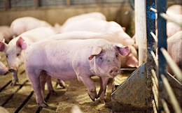 Giá lợn hơi tăng mạnh trở lại