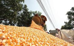 Mỗi ngày chi gần 11 triệu USD nhập khẩu thức ăn gia súc