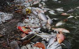 Cá chết lại nổi trắng Hồ Tây