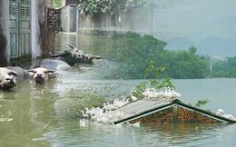 Những ngày lênh đênh ở Chương Mỹ: Trâu bò lặn ngụp, vịt trèo lên những mái nhà khi nước dâng đến tận nóc