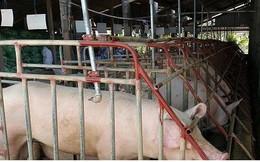 Giá lợn ở Tiền Giang tăng kỉ lục, người nuôi lãi lớn