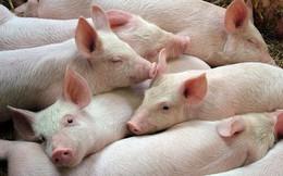 Giá thịt lợn hơi tăng cao kỷ lục, chạm mốc 57.000 đồng/kg
