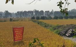 Trồng lúa sạch lợi nhuận hơn 50 triệu đồng/ha