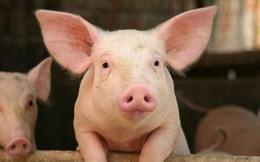 Dabaco lãi đột biến gần 55 tỷ đồng trong tháng 7 nhờ giá lợn hơi tăng