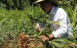 """Hơn 100 tấn nghệ của nông dân Quảng Nam cần """"giải cứu"""""""