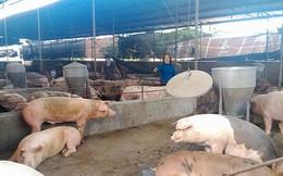"""Lợn """"sốt giá"""", người chăn nuôi tự phát tăng đàn"""