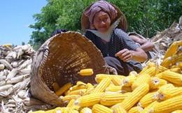 Sản xuất không đủ, Việt Nam phải nhập khẩu thêm ngô từ Ấn Độ