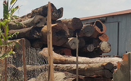 """Khởi tố nguyên Phó Hạt trưởng kiểm lâm trong vụ gỗ Phượng """"râu"""""""