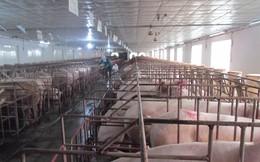 Trúng lớn nhờ cố duy trì đàn nái và lợn thương phẩm sau trận 'bão giá'