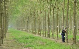 Cao su Quảng Nam (VHG) tăng lỗ thêm 34% sau soát xét