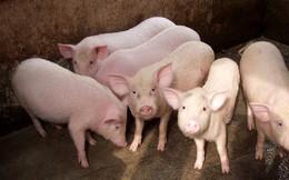 Chiến tranh thương mại Mỹ - Trung: Áp lực lên ngành chăn nuôi lợn Việt Nam