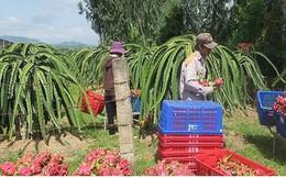 Thanh long Bình Thuận đột ngột tăng giá nhờ dịp Trung thu