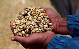 Ngành cà phê thế giới họp khẩn vì giá xuống thấp kỷ lục