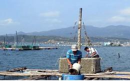 Người nuôi tôm hùm Phú Yên lại bất chấp rủi ro ở vịnh Xuân Đài?