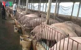 Giá thịt lợn có thể tiếp tục tăng nếu dịch tả lợn Châu Phi bùng phát