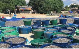Cá cơm về dày, ngư dân Quảng Ngãi phấn khởi