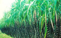 Thành Thành Công - Biên Hòa (SBT) tạm hủy hồ sơ chào bán cho nhà đầu tư nước ngoài